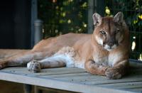 Cougar definicija